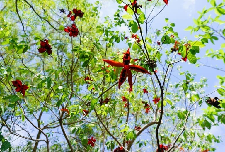 hình ảnh cây sảng