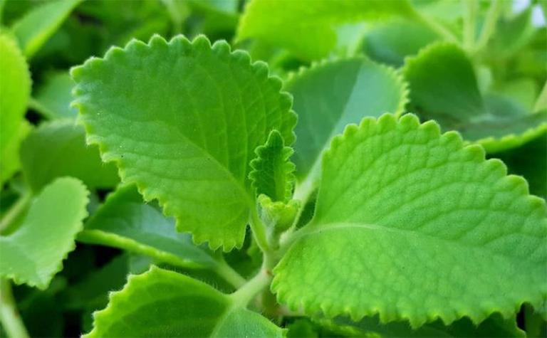 Cây tần dày lá được nhiều người tin dùng làm thuốc chữa viêm amidan nhờ đặc tính kháng viêm, diệt khuẩn tự nhiên