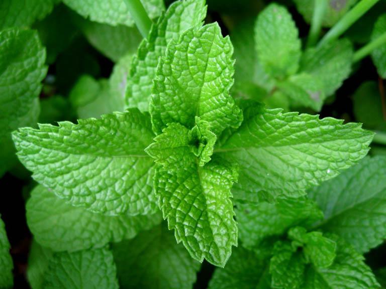 Bạc hà là cây thuốc trị viêm họng đang được sử dụng phổ biến trong dân gian