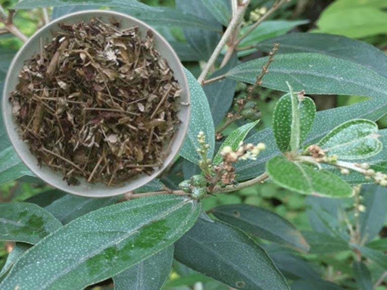Bài thuốc dân gian chữa viêm lộ tuyến từ cây khổ sâm