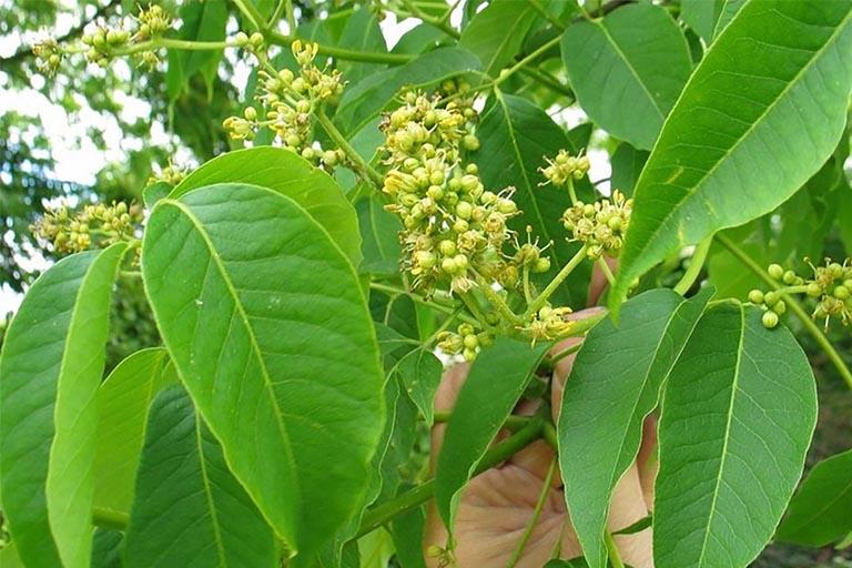 Bài thuốc dân gian chữa viêm lộ tuyến từ cây hoàng bá