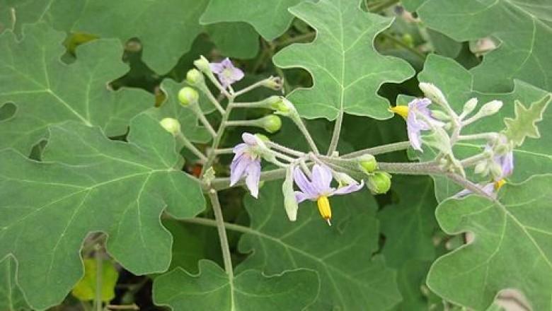 dược liệu cà dại hoa tím