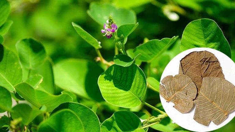kim tiền thảo cây thuốc nam chữa viêm niệu đạo hiệu quả
