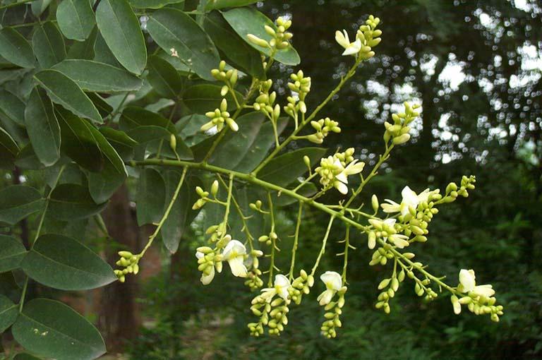 Bài thuốc xông chữa bệnh trĩ từ hoa hòe