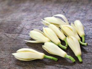 Chữa vô sinh bằng hoa ngọc lan được không?