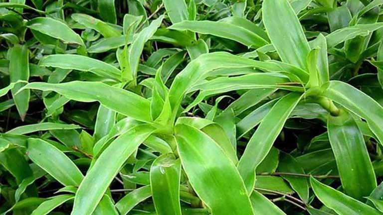 cây lược vàng thảo dược trị gout
