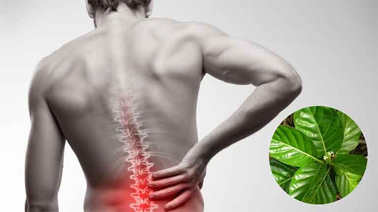 Lá nhàu trị đau lưng
