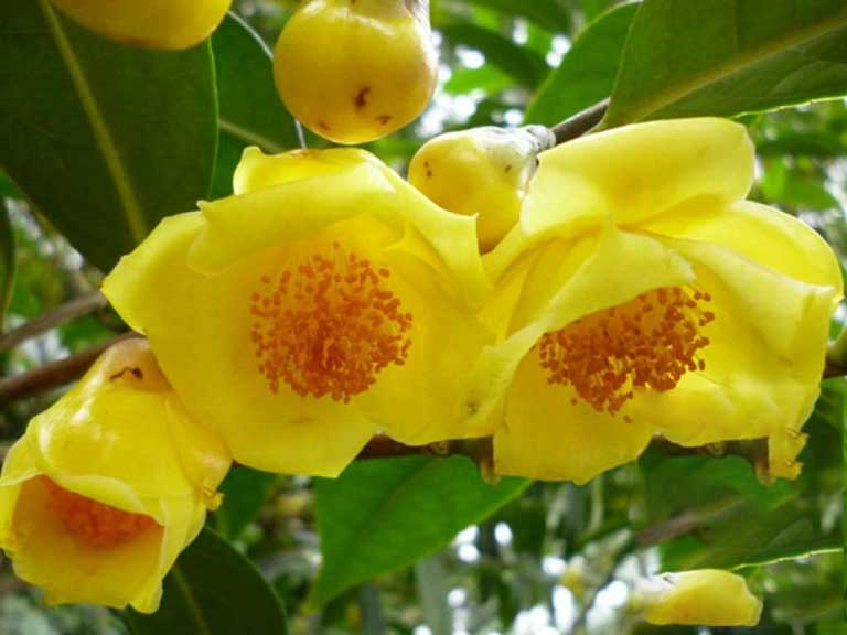 Hình ảnh trà hoa vàng trong tự nhiên
