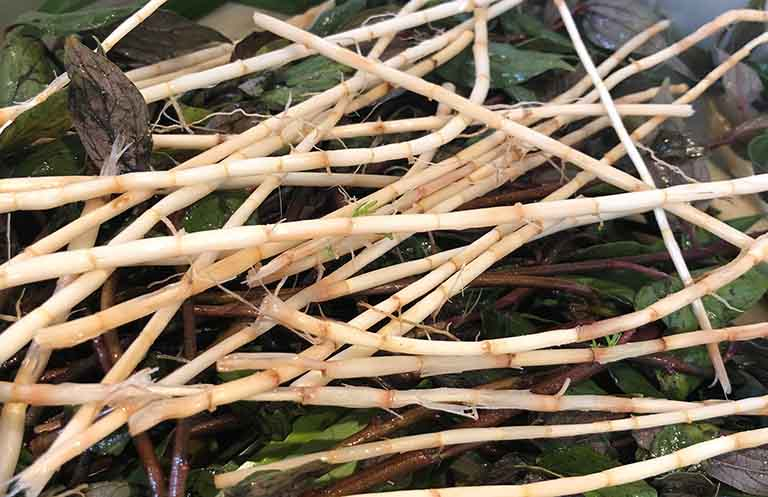 cách trị thận ứ nước tại nhà bằng rễ cỏ tranh