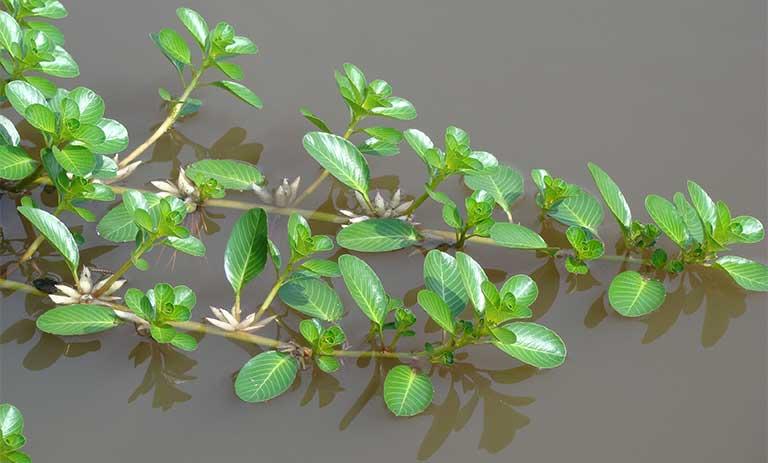 cách chữa viêm bàng quang tại nhà bằng cây dừa nước