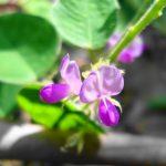cây thuốc nam chữa bệnh thận ứ nước