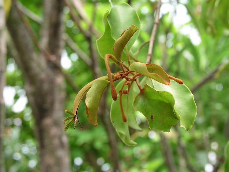 Ung thư bàng quang nên ăn lá tầm gửi