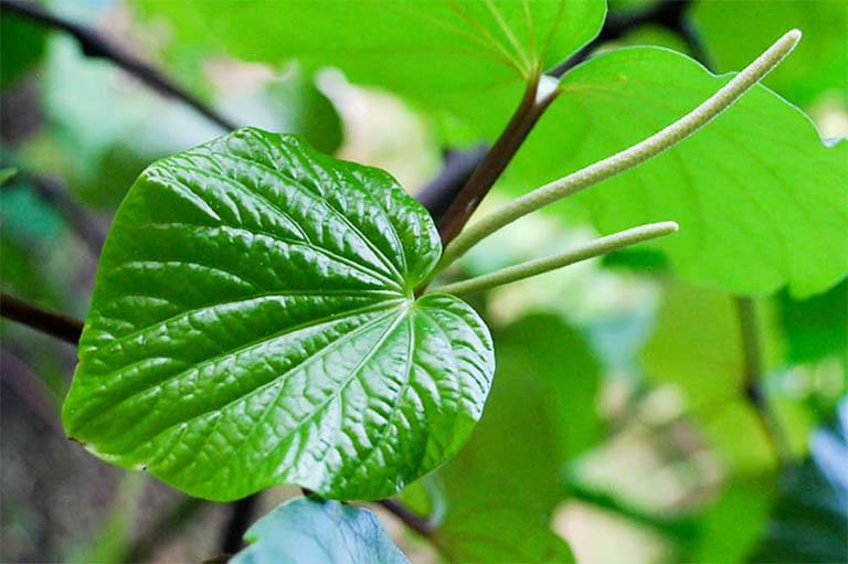 bài thuốc Nam chữa thoát vị đĩa đệm từ cây lá lốt