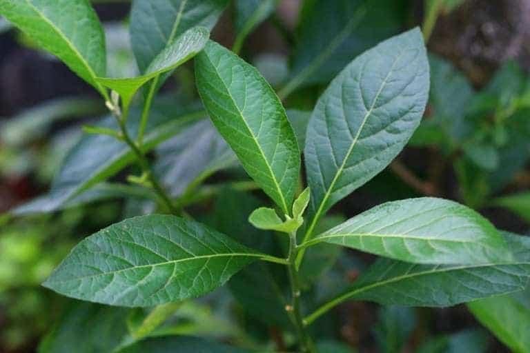 phương pháp điều trị thoát vị đĩa đệm từ cây lá đắng