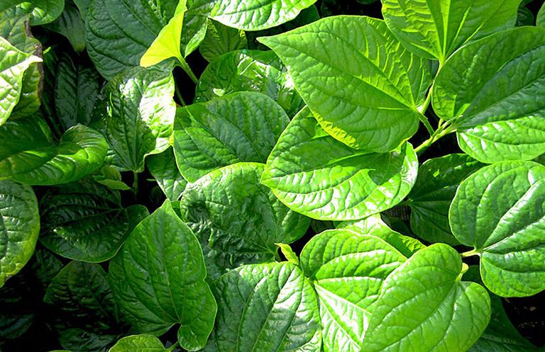 lá lốt - cây thuốc Nam chữa tràn dịch khớp gối