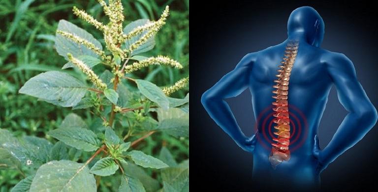 cách chữa gai cột sống bằng rau dền gai