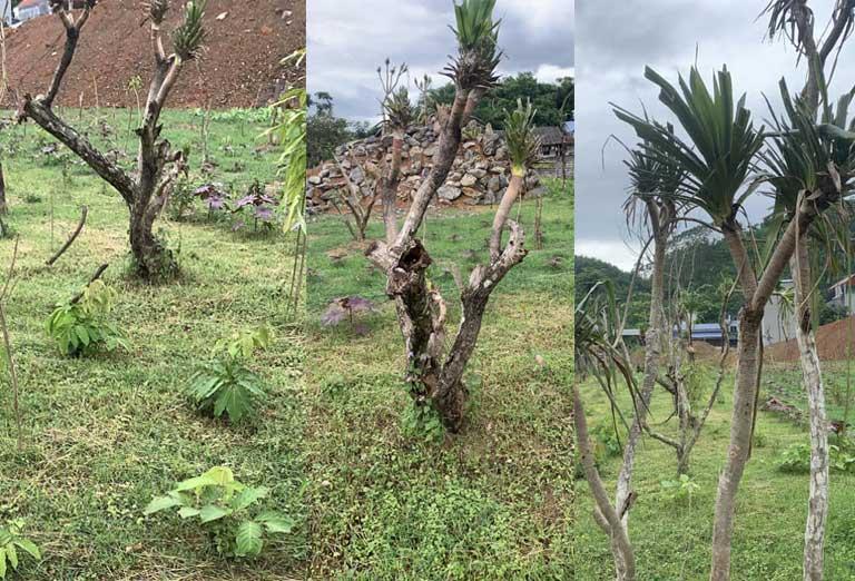 Một số cây thuốc quý đã được di thực về hợp tác xã Nam dược Thuốc dân tộc