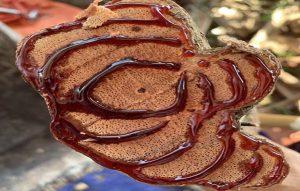 Hình ảnh cây Thau pú lùa có nhựa đỏ như máu 60 năm tuổi (mất 10 năm để hình thành được 1 vòng nhựa)