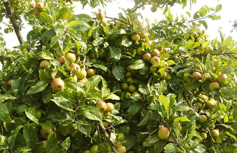 cách trị gan nhiễm mỡ từ thiên nhiên với quả táo mèo