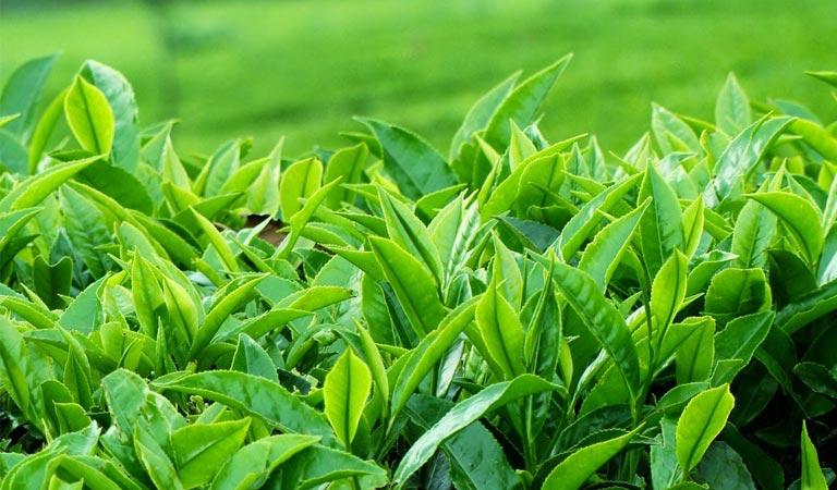 cách trị gan nhiễm mỡ từ thiên nhiên với trà xanh